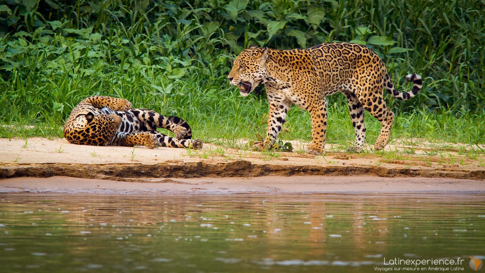 Bresil - Pantanal - Jaguar - Latinexperience voyages
