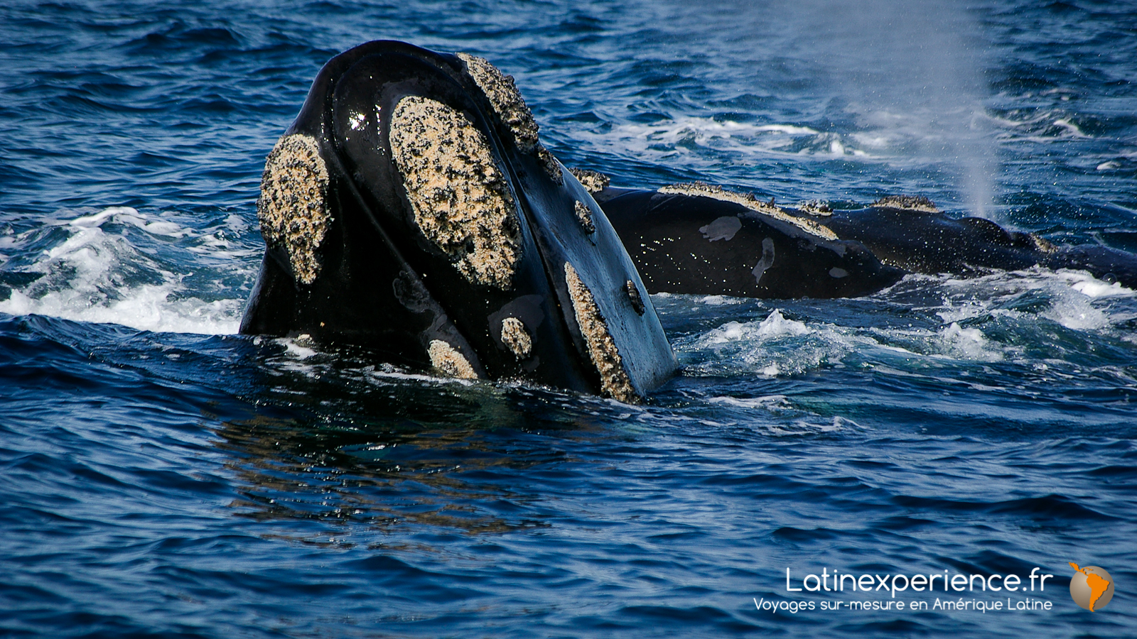 Argentine - Baleine - Péninsule de Valdes - Latinexperience voyages