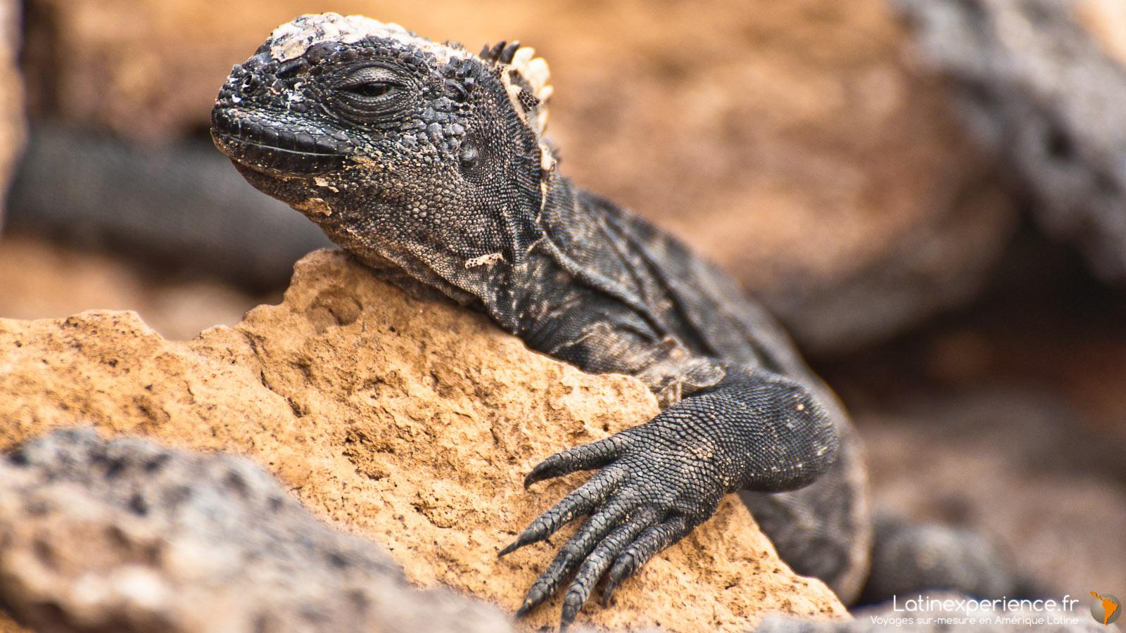 Galapagos - Bébé Iguane - Latinexperience voyages