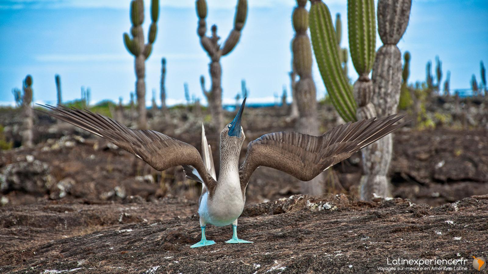 Galapagos - Fou à pattes bleus - Latinexperience voyages