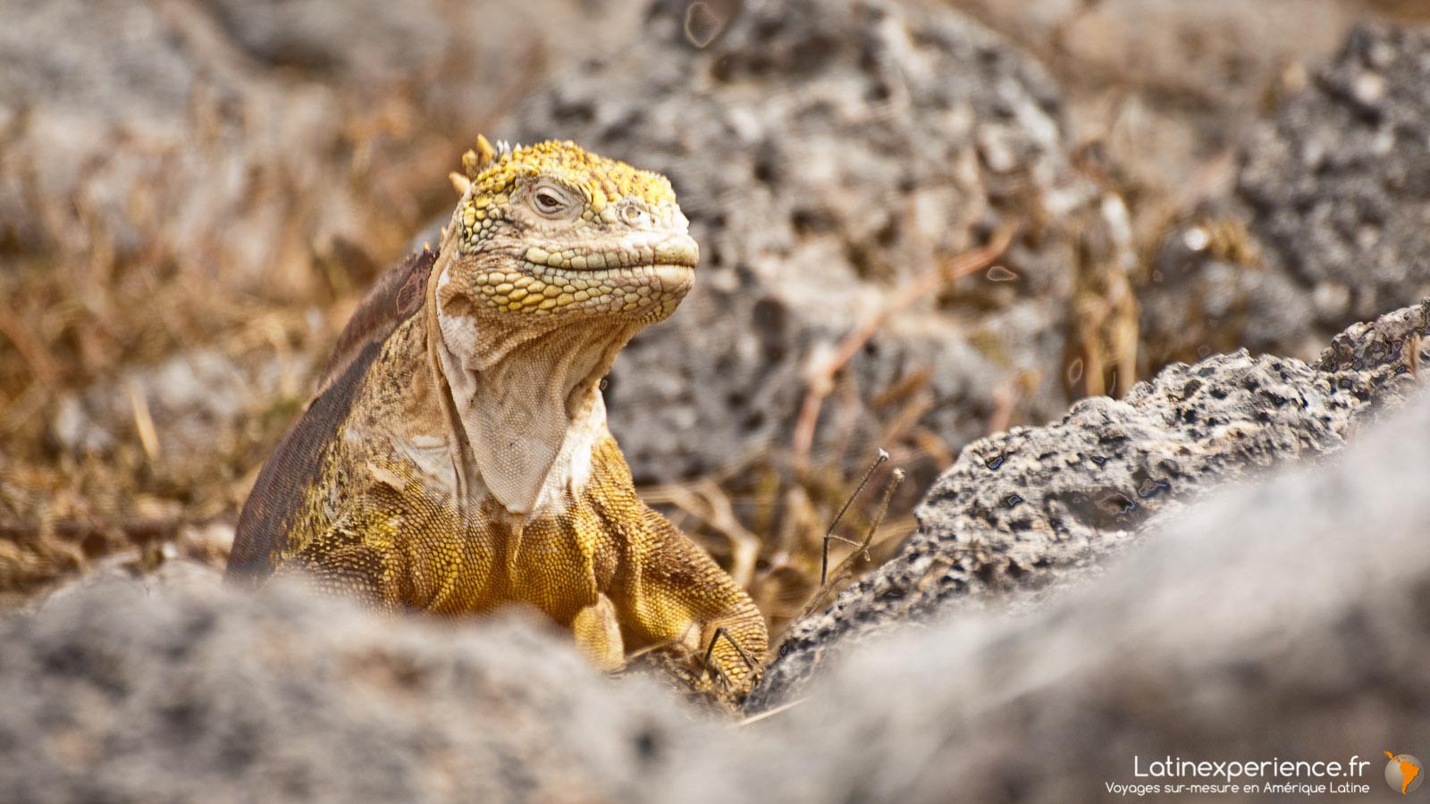 Galapagos - Iguane terrestre - Latinexperience voyages