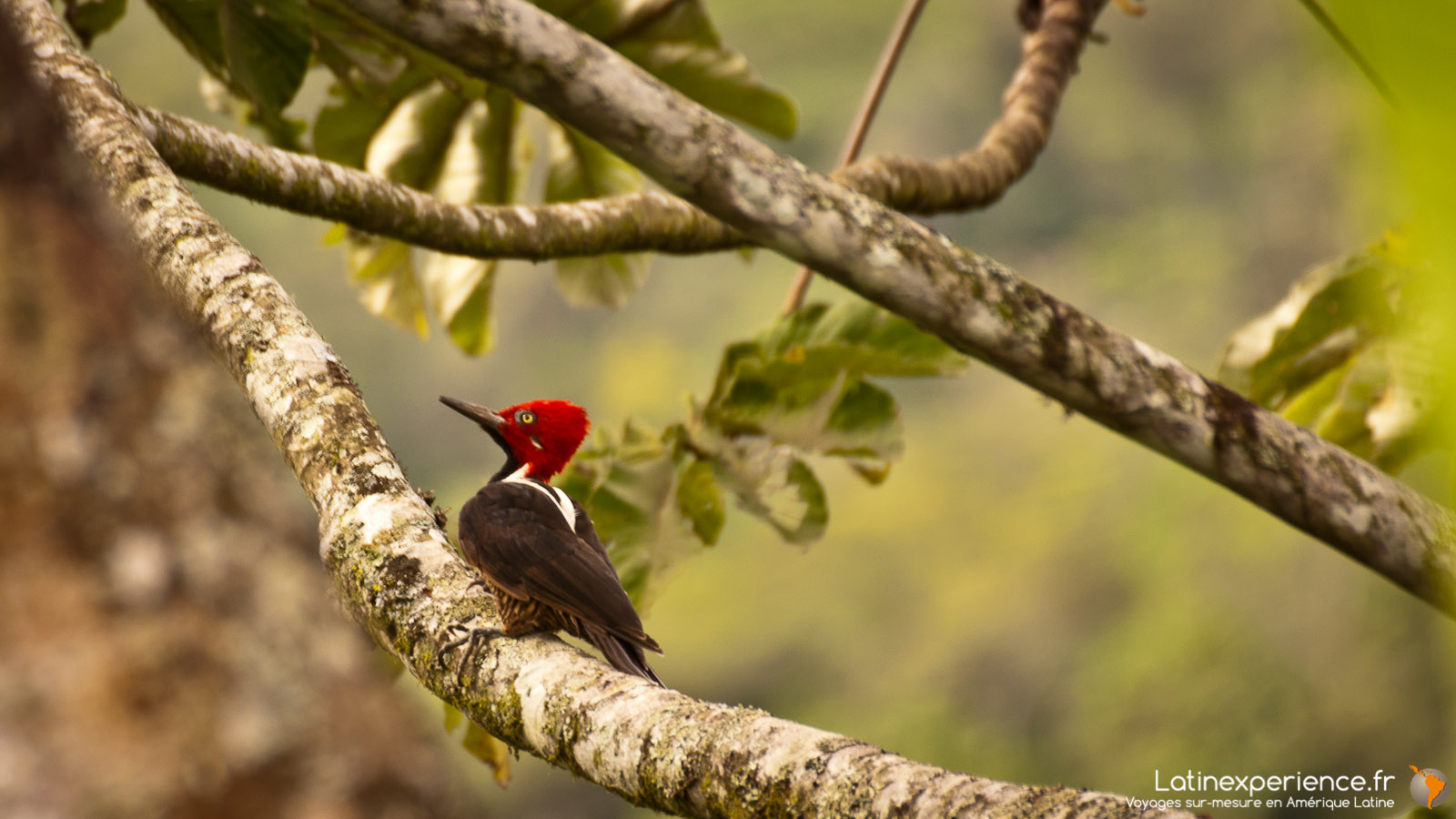 Equateur - Mindo - Woody wood Pecker - voyage photo - Latinexperience voyages