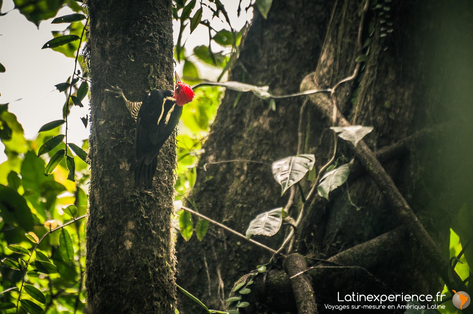 Costa Rica - Corcovado - Woody Woodpecker